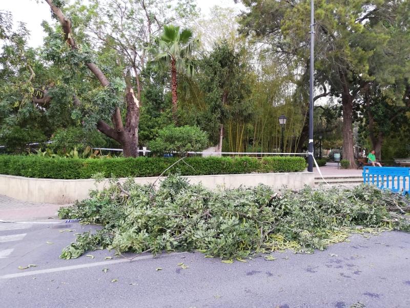 La caída de ramas de un algarrobo en La Cubana obliga a su tala parcial